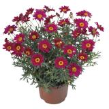 Argyranthemum frutescens - Kopretina pařížská
