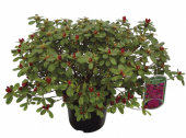 Azalka japonská - Azalea japonica