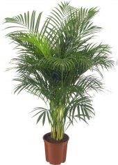 Chamaedorea - Horská palma