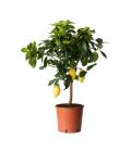 Citrusová rostlina