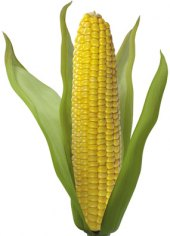 Kukuřice klas