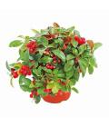 Libavka - Gaultheria procumbens
