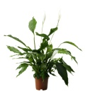 Lopatkovec - Spathiphyllum