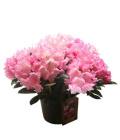 Rododendron - Pěnišník - Azalea