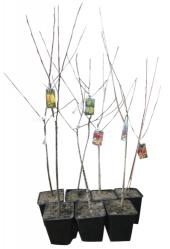 Sazenice ovocných stromků