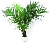 Sazenice venkovní palma