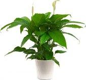 Spatiphylum Alana