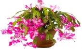 Velikonoční kaktus - Rhipsalidopsis